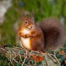 Pic Red squirrel