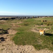Sam the Barend Beagle exploring Sandyhills Bay