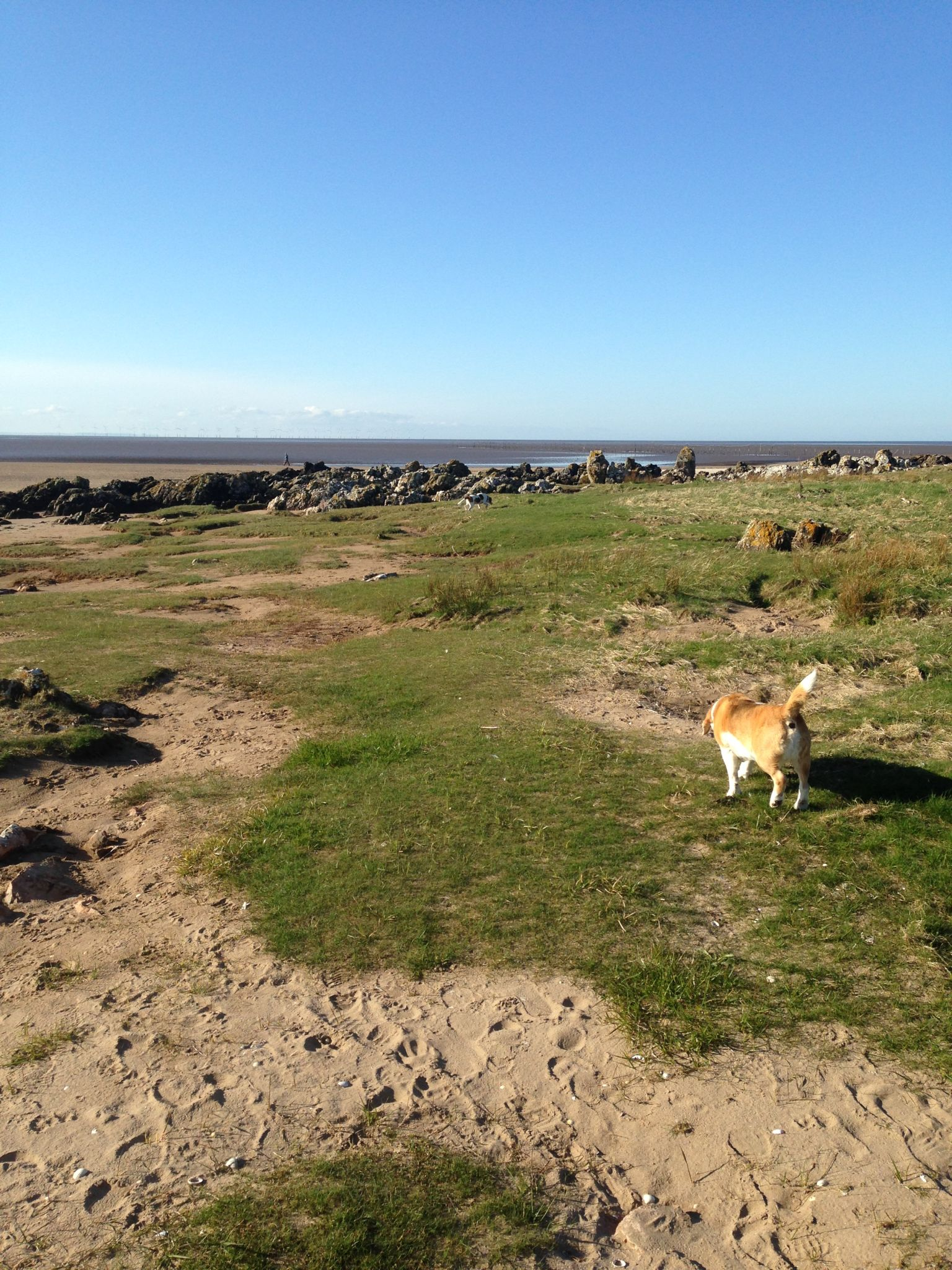 Sam the Barend Beagle exploring Sandyhills Bay